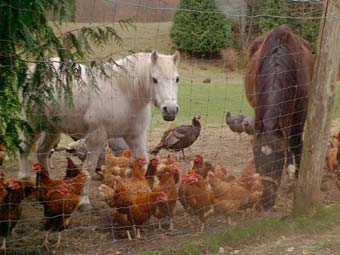 Horses and Chickens on the Farm